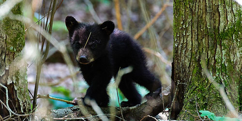 15 Tips For Bear Safety In The Smoky Mountains: Click to visit page.