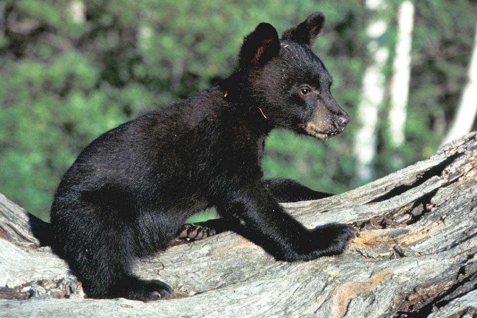 bear-718378