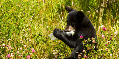 A black bear cub chewing on a plastic bottle