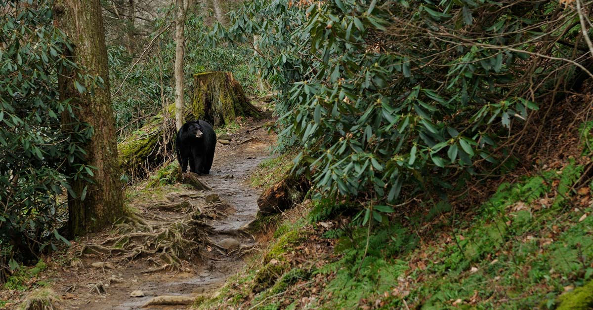 All About Black Bears In The Smoky Mountains Gatlinburg Tn