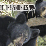 Bears Of The Smokies