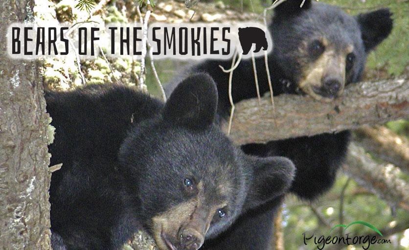 Bears Of The Smokies