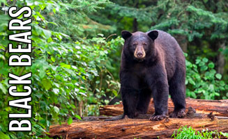 All About the Bears in the Smoky Mountains: Click to read more