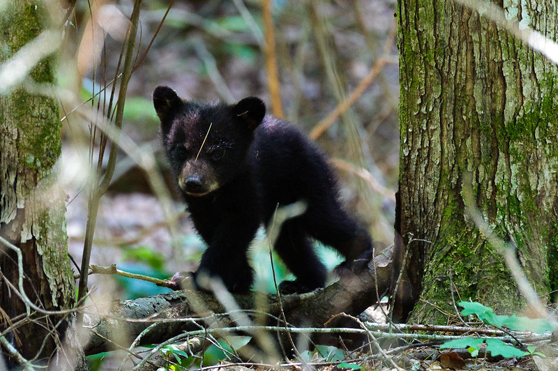 Bear cub along Abrams Falls Trail by John Buie / CC BY 2.0