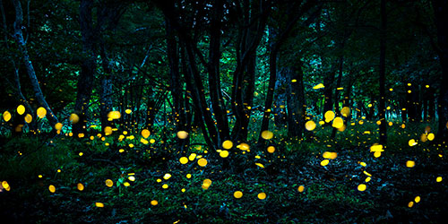 where to see synchronous fireflies