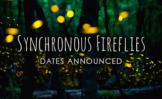 Synchronous Fireflies in the Smokies