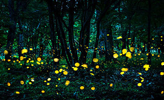 Synchronous Fireflies in the Smokies: Click to view post
