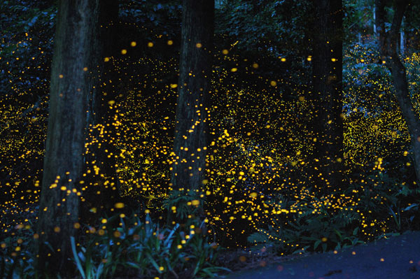 gatlinburg-fireflies2