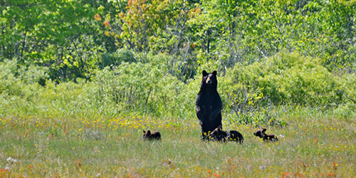 Bear Safety in the Smoky Mountains: Click to visit page.