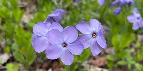 Smoky Mountain Wildflowers: Click to visit page.