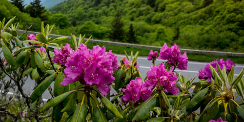 Guide To Smoky Mountain Wildflowers: Click to visit page.