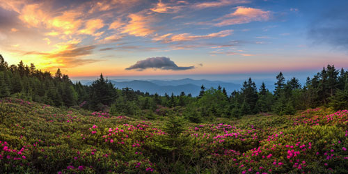 A dramatic sunrise over blooming Catawba Rhododendron field at Tennessee's Roan Mountain State Park