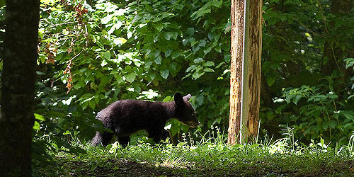 All About The Bears Of The Smoky Mountains: Click to visit page.