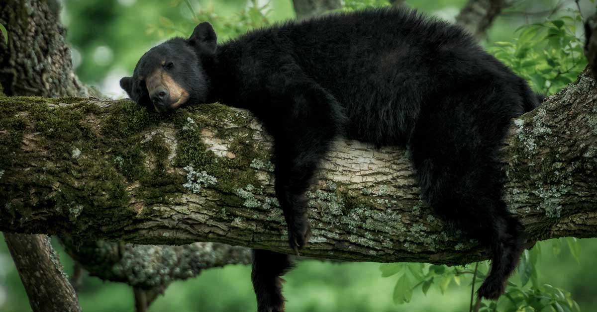 All About The Bears Of The Smoky Mountains Pigeonforge Com