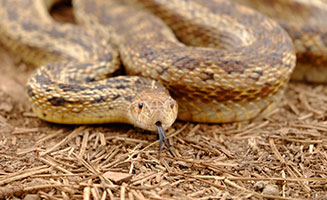 4 Fast Facts About Poisonous Snakes in the Great Smoky Mountains: Click to view post