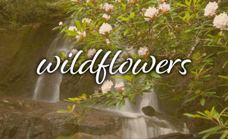 Smoky Mountain Wildflowers: When & Where To Find Them: Click to read more
